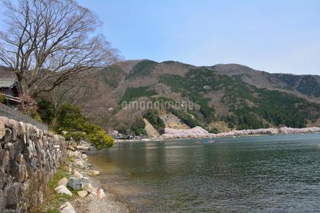 海津浜の石積み 海津大崎の桜の写真素材 [FYI02671324]