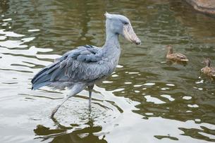 池の中のハシビロコウの写真素材 [FYI02671355]