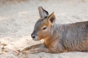 砂の上のマーラの写真素材 [FYI02671379]