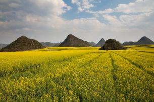 菜の花満開の羅平(中国雲南省)の写真素材 [FYI02671389]