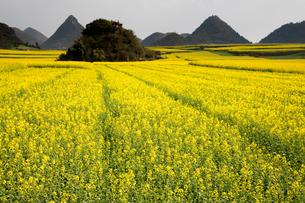 菜の花満開の羅平(中国雲南省)の写真素材 [FYI02671407]
