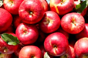 りんごの写真素材 [FYI02671460]