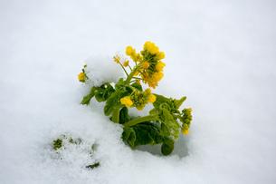 雪中に咲く菜の花の写真素材 [FYI02671471]