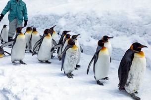 2月 ペンギンパレード -北海道の冬-の写真素材 [FYI02671510]