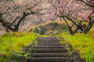 三隅梅林公園の梅林の写真素材 [FYI02671591]