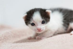 生後2週間の子猫の写真素材 [FYI02671605]