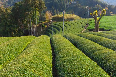 京都府 宇治茶の茶畑の写真素材 [FYI02671608]