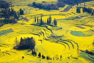 菜の花満開の羅平(中国雲南省)の写真素材 [FYI02671611]