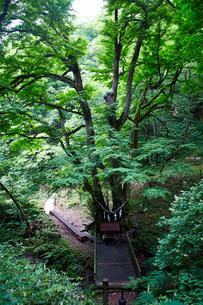 縁桂(森の巨人たち100選)の写真素材 [FYI02671660]