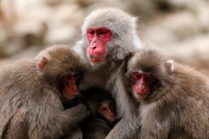 11月 小豆島のお猿の国の写真素材 [FYI02671683]