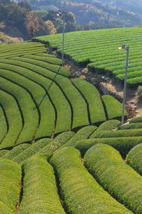 京都府 宇治茶の茶畑の写真素材 [FYI02671745]