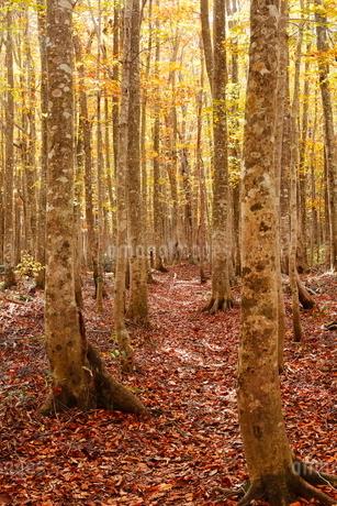10月 安比高原の紅葉のブナ二次林の写真素材 [FYI02671783]