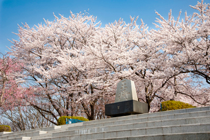 天童公園の桜と将棋供養塔の写真素材 [FYI02671805]
