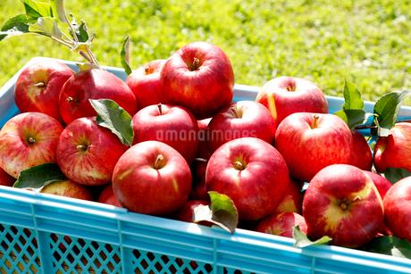 りんごの写真素材 [FYI02671818]
