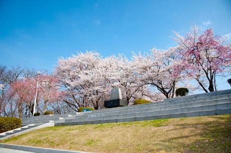天童公園の桜の写真素材 [FYI02671819]