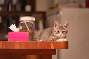 テーブルの上で横になってカメラに目を遣る子猫の写真素材 [FYI02671845]