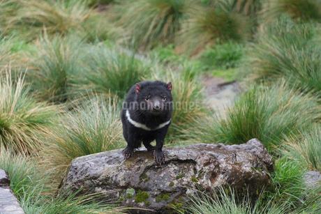 岩の上に佇むタスマニアデビルの写真素材 [FYI02671849]