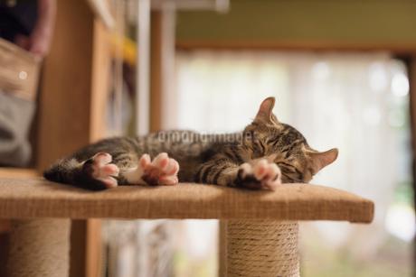 キャットタワーの上で横になって眠る子猫の写真素材 [FYI02671879]