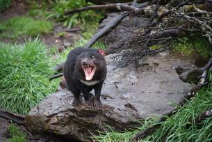 口を開いて威嚇するタスマニアデビルの写真素材 [FYI02671882]