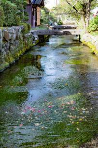 中山道醒井宿 地蔵川と石橋とバイカモの花の写真素材 [FYI02671892]