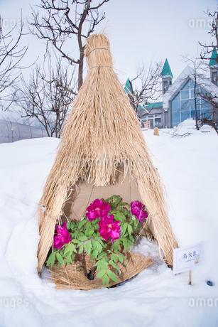 冬ボタンの写真素材 [FYI02671900]