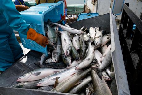 鮭漁のイメージ写真の写真素材 [FYI02671918]