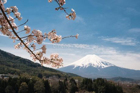 背戸山より望む桜越しの富士山の写真素材 [FYI02671931]