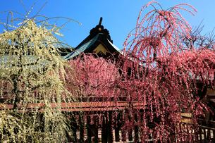3月 しだれ梅の結城神社の写真素材 [FYI02671945]