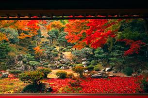 11月 紅葉の徳源院 近江の秋の写真素材 [FYI02671966]