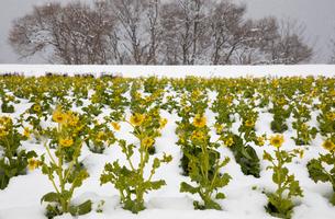 雪中に咲く菜の花の写真素材 [FYI02671978]