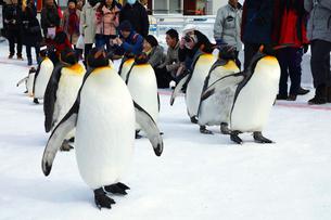 2月 ペンギンパレード -北海道の冬-の写真素材 [FYI02672001]