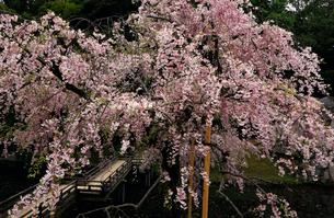 4月 サクラの岡山後楽園の写真素材 [FYI02672037]