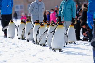 2月 ペンギンパレード -北海道の冬-の写真素材 [FYI02672058]