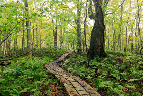 岳岱(だけだい)自然観察教育林のブナ林-世界遺産の白神山地-の写真素材 [FYI02672062]
