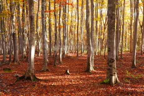 10月 安比高原の紅葉のブナ二次林の写真素材 [FYI02672063]