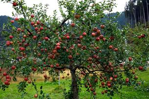 10月 青森のリンゴの写真素材 [FYI02672067]