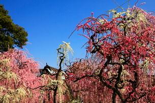 3月 しだれ梅の結城神社の写真素材 [FYI02672068]