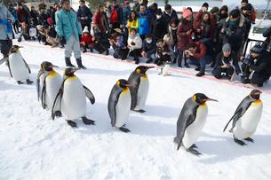 2月 ペンギンパレード -北海道の冬-の写真素材 [FYI02672075]