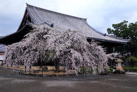 4月 サクラの道成(どうじょう)寺-紀州のサクラ-の写真素材 [FYI02672108]