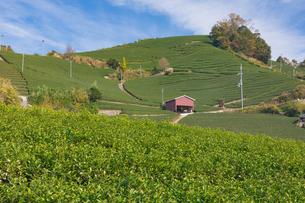 京都府 宇治茶の茶畑の写真素材 [FYI02672113]