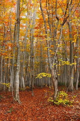 10月 安比高原の紅葉のブナ二次林の写真素材 [FYI02672134]