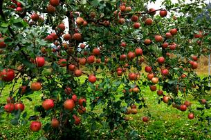 10月 青森のリンゴの写真素材 [FYI02672164]