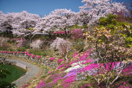 尾首の池の桜の写真素材 [FYI02672195]