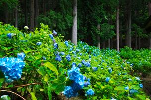 21世紀の森 アジサイの写真素材 [FYI02672196]