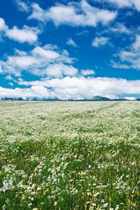夕張山地と麦と白い花の写真素材 [FYI02672198]