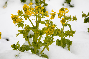 雪中に咲く菜の花の写真素材 [FYI02672199]