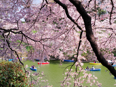 千鳥ヶ淵の桜とボートの写真素材 [FYI02672210]