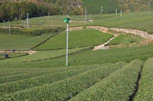 京都府 宇治茶の茶畑の写真素材 [FYI02672214]