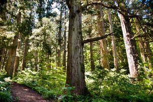 金山町大美輪の大杉の写真素材 [FYI02672224]