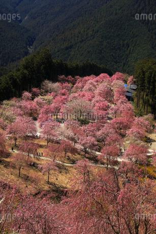 4月 枝垂桜の高見の郷 山間の千本のしだれ桜の写真素材 [FYI02672236]